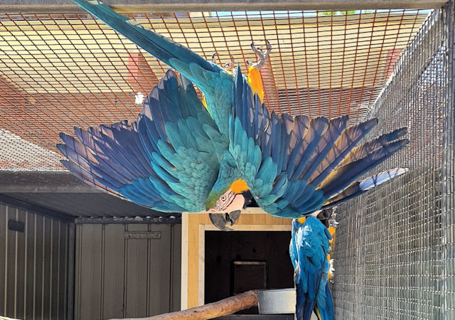 Macaw wings