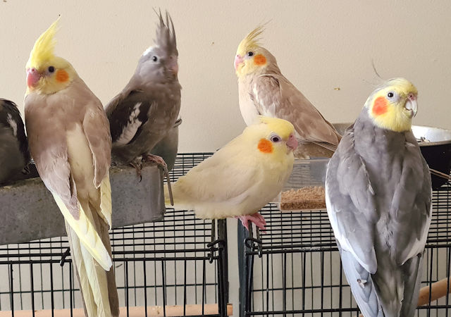 The Bird Place cockatiels